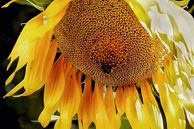 подсолнух Sunflower Nature Flower шмели