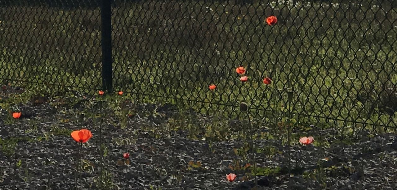 poppy, flower, growth, nature, plant, field, outdoors, no people, red, beauty in nature, day