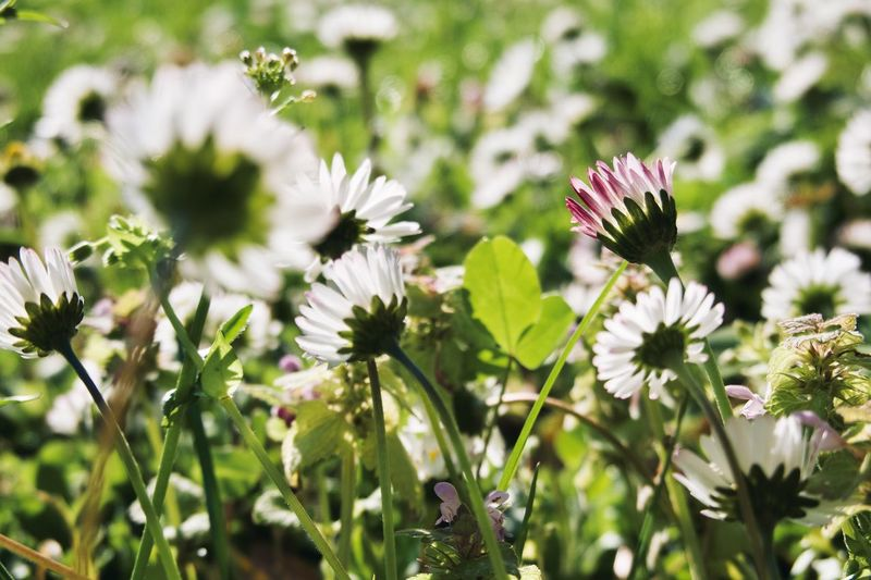 Plant Flower Flowering Plant Growth Fragility Freshness Beauty In Nature Flower Head Inflorescence Vulnerability  Petal No People Close-up Outdoors Green Color Focus On Foreground Field Nature Day Sunlight