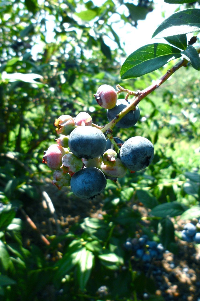 Close-Up Of Blueberries On Branch Against Trees