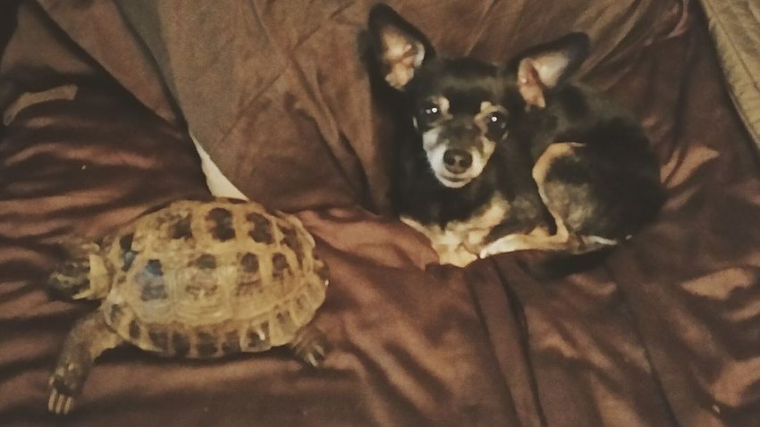 puppy tortoise pets animals Domestic Animals Relaxation Indoors  Pets Russian Tortoises Sleeping Pet Turtles Tortoise Pet Tortoiseshell Tortoise Chihuahua Chihuahua Puppy Pets Indoors  Domestic Animals Relaxation Cat Domestic Cat Mammal Feline Hiding