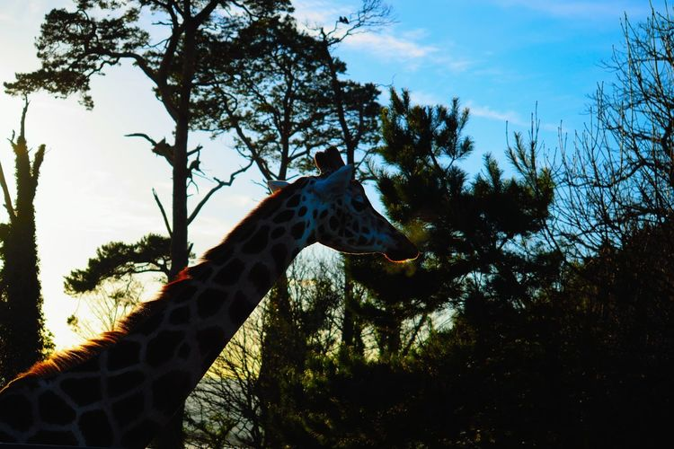Animal Themes Animals In The Wild Beauty In Nature Day Giraffe Low Angle View Mammal Nature Nature Nature Photography Nature_collection No People Outdoors Sky Tree Wild Wildlife Wildlife & Nature Wildlife Photography