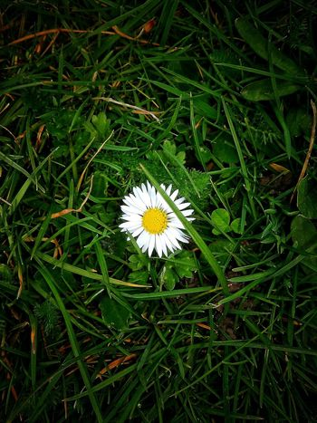 """""""Simplicity is beautiful !!""""... A beautiful daisy captured amongst green grass✨💝 Spring Into Spring Nature By My Side Stand Out From The Crowd Free Open Edit Respect For The Good Taste Enjoy Clicking Flower Collection White Daisy Flower Deceptively Simple"""
