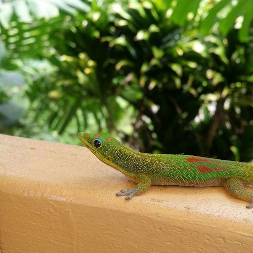 Gecko Hawaii Big Island