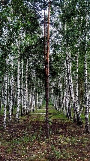 Birch Birch Wood Birch Tree TreePorn Trees Perspectives Nature EyeEm Nature Lover Nature_collection Perspective