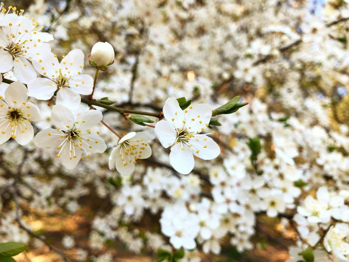Flowers White Spring Summer Sun Nature Tree Backgrounds Wallpaper Flowering Plant Flower Fragility Plant Freshness Beauty In Nature Growth Vulnerability  Blossom Springtime Branch Cherry Blossom White Color Flower Head Inflorescence Day Petal Close-up Pollen No People Cherry Tree Outdoors