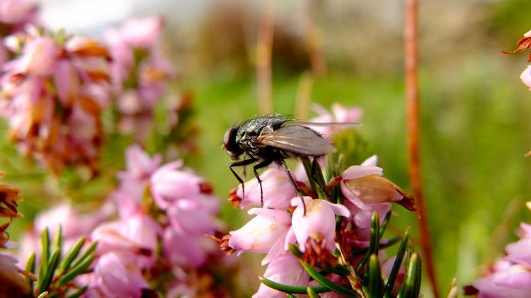 Macro Fly Heather Pinc Nature Insect Hairy  Black Green Hedge Very Close Fuji X10