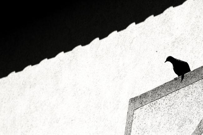 Animal Themes Animal Wildlife Bianco E Nero Bird Italy Luce Del Sole No People Ombre One Animal Outdoors Palazzo Piccione Pigeon Bird  Primavera Rometta Shadows Sicily Spring Sunshine Tetto Volatile Whiteandblack