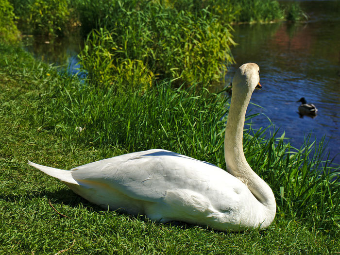 Beauty In Nature Bird Day Nature Nature Nature Photography Nature_collection Naturelovers No People Outdoors Plant Shootermag Swan Taking Photos Tranquility