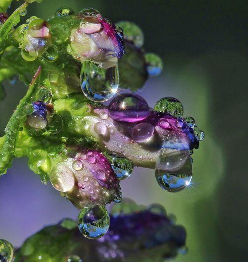 Waterdrops Water Reflections Drops Purple Droplets Penstemon