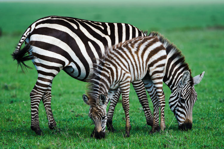 Zebra Striped Grass Animal Wildlife Green Color Animals In The Wild Outdoors Animal Markings One Animal Safari Animals Mammal Day No People Nature Standing Animal Themes Beauty In Nature Close-up EyeEmNewHere Animals In The Wild Kenya Beauty In Nature Zebra The Week On EyeEm