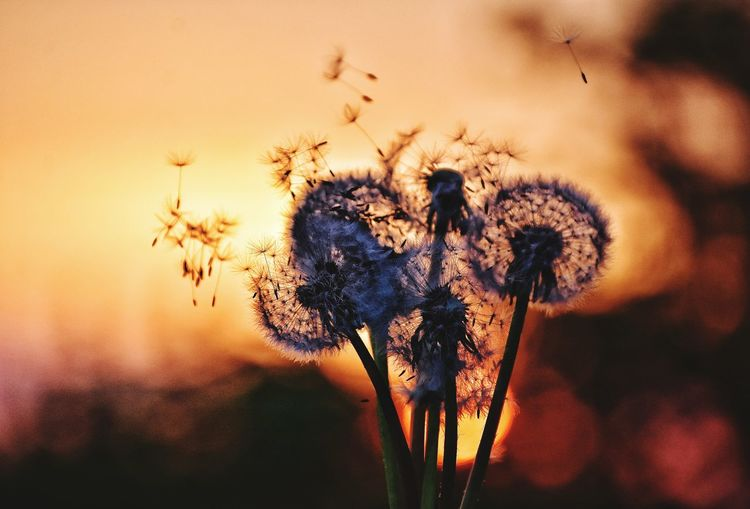 Close-up of dandelions against sky during sunset