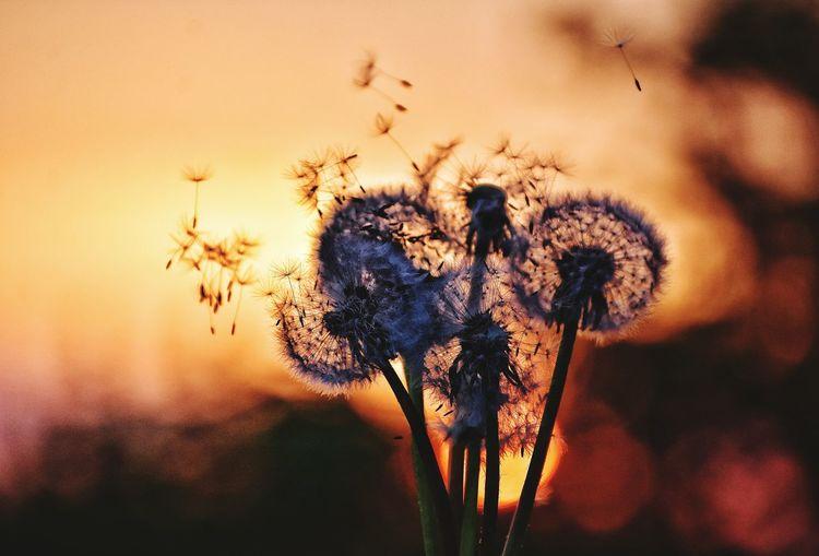 dandelions on