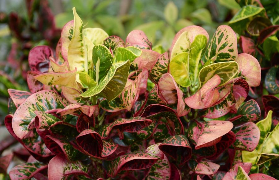 codiaeum variegatium plant in nature garden Beautiful Croton Beauty In Nature Close-up Foliage Fragility Freshness Growth Houseplant Leaf Leaves Nature No People Outdoors Plant Variegated Laurel Yellow
