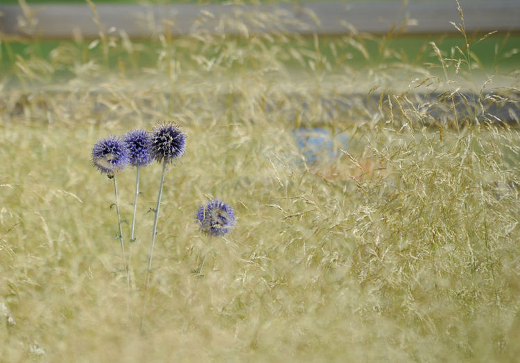 Close-up of purple flowers growing in field