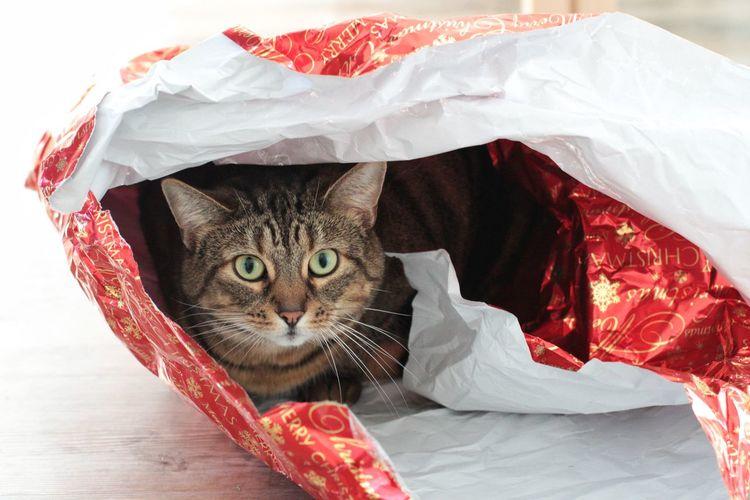 Portrait Of Cat In Plastic Bag