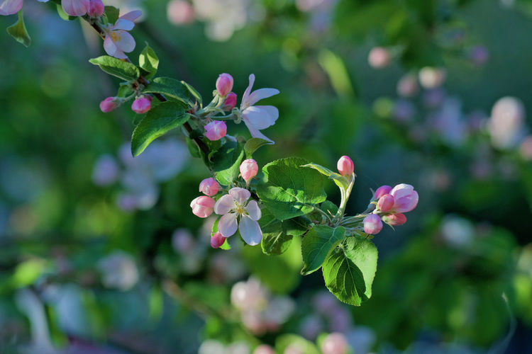 Blossom Appel Tree Appel Blossom Beauty In Nature Bud Close-up Day Flower Flower Head Flowering Plant Focus On Foreground Fragility Freshness Green Color Growth Leaf Nature No People Outdoors Petal Plant Plant Part Selective Focus Spring Vulnerability