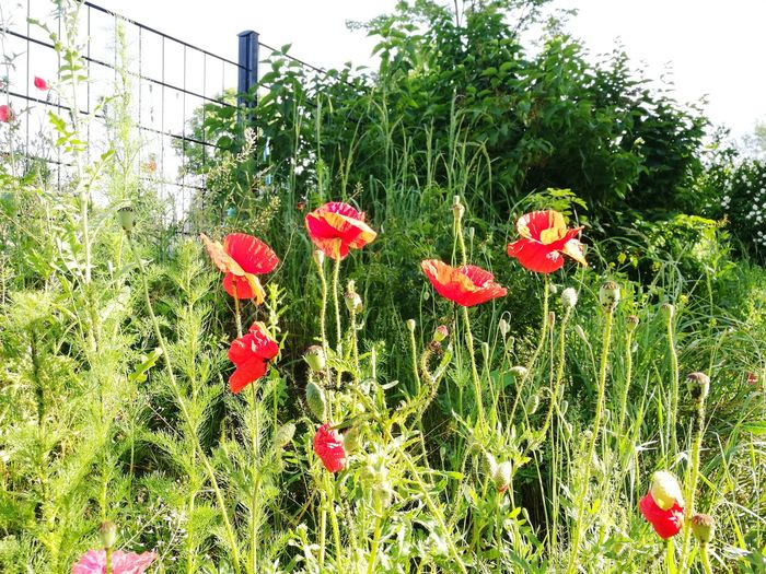 Poppy Flower Red Nature Plant