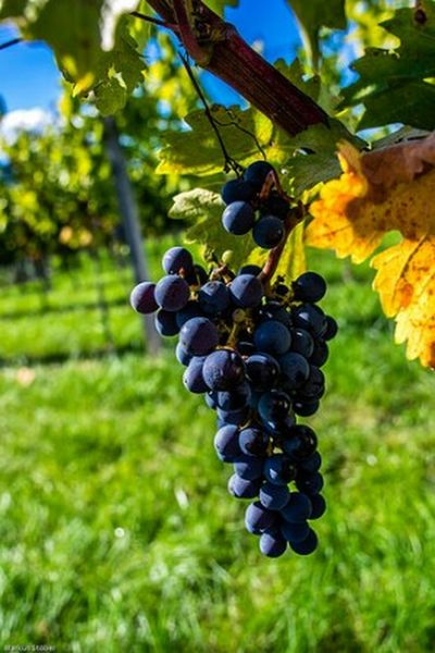 Grapes Check This Out Taking Photos Relaxing Enjoying Life Pentax K-3 Photograph Pentax Photography Photo Light Nature Relaxing Taking Photos Natur Colourful Nature Photography Weinstock Herbst Herbststimmung Herbstfarben Weinberg Herbstlicht Autumn Fall Autumn Colors