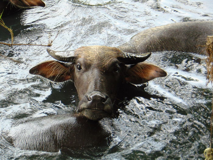 High angle view of cow in water