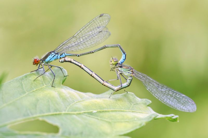 """Love"" Https://www.facebook.com/mh.photography.de/ Michael Hruschka Heart Herz Liebe Paarung Love Tiere Macro Photography Makro Macro Insekten Libelle Insect Invertebrate Animal Animal Themes Animal Wildlife Animals In The Wild Animal Wing Nature Damselfly No People Focus On Foreground Dragonfly"
