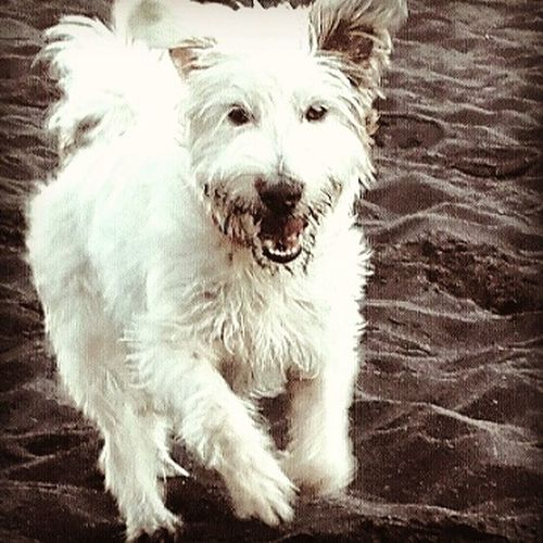 Amor perruno...💚🌏👣🐶Dog Pets One Animal Domestic Animals Looking At Camera Portrait Animal Themes Mammal No People Indoors  West Highland White Terrier Day Close-up