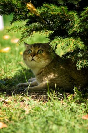 British Shorthair (black golden tabby ticked) Animal Themes Nature Grass Portrait Domestic Cat Domestic Animals Alertness Pets Feline Cat British Shorthair Britishshorthair Bkh Britischkurzhaar Kater британец короткошерстный кот напрогулке домашниелюбимцы домашнееживотное