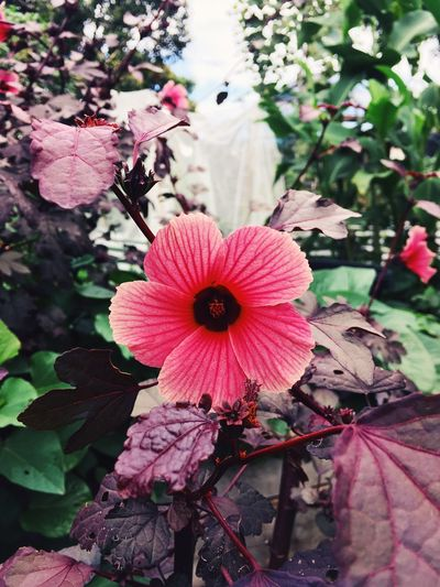 Hibiscus Flowering Plant Plant Flower Fragility Vulnerability  Beauty In Nature Growth Flower Head Nature Pink Color Day Inflorescence Freshness Petal Close-up No People Leaf Plant Part Petunia Focus On Foreground