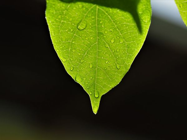 Beauty In Nature Close-up Fragility Freshness Green And Black Leaf Nature Outdoors Waterdrops On Leafs Wet Leaf Wet Leaf In The Foreground