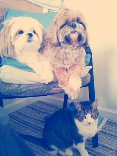 Love this...two shihtzus & a kitty