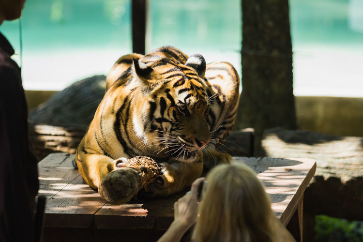 Tiger sitting on wooden table