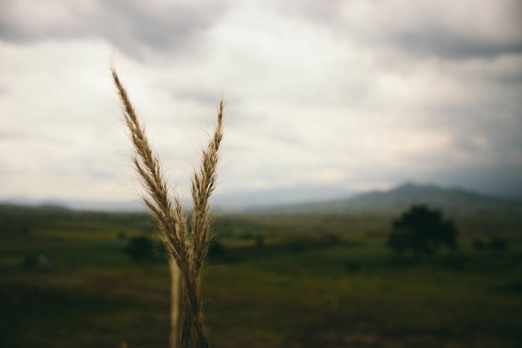 Agriculture Beauty In Nature Cereal Plant Close Up Close-up Day Ear Of Wheat Field Fog Growth Landscape Nature No People Outdoors Postal Relaxing Rural Scene Scenics Sky Tranquil Scene Tranquility Wheat