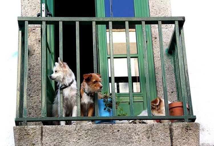 Dogs ,Cani Balcone Ballkon Qen Porta Door