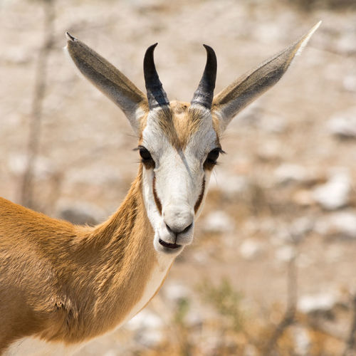 Close-up of springbok