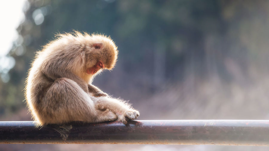Japanese snow monkey macaque parent taken flea or tick off to its baby against fog and sunset