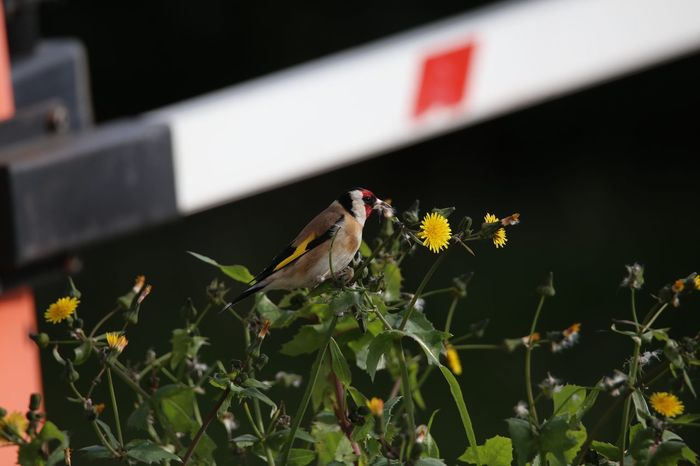 Carduelis Fringillidae Carduelis Carduelis Cardellino Cardellini Flower One Animal Insect Animal Wildlife Butterfly - Insect Animals In The Wild No People Plant Nature Animal Themes Outdoors Freshness Fragility Beauty In Nature Bird