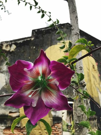 Flower Fragility Petal Freshness Nature Beauty In Nature Growth Plant Outdoors Flower Head Day No People Close-up Blooming Building Exterior Petunia Sky