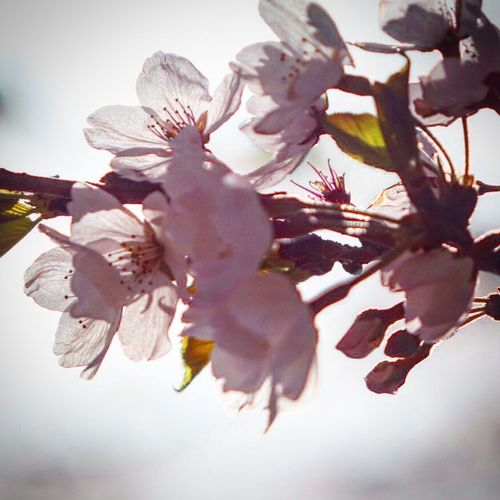 Sakura Sakura2016 Flordelcerezo Japan Japan Photography Japanese Garden Flowers Flower Flores 桜