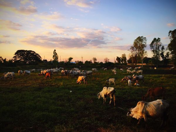 Cow Animal Themes Sunset Landscape Beauty In Nature Nature Farm Animal