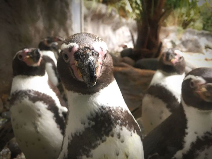 Penguin EyeEm Selects Animal Themes Animal Vertebrate Focus On Foreground Looking At Camera