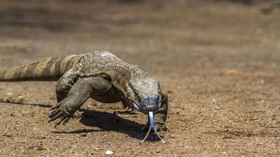 Close-up of komodo dragon walking on land