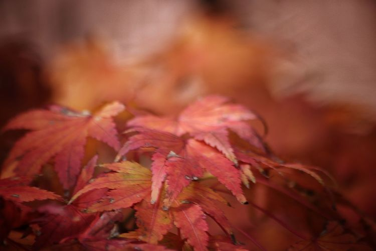 Otoño 🍁 Hojas Plant No People Beauty In Nature Autumn Selective Focus Pink Color Flowering Plant