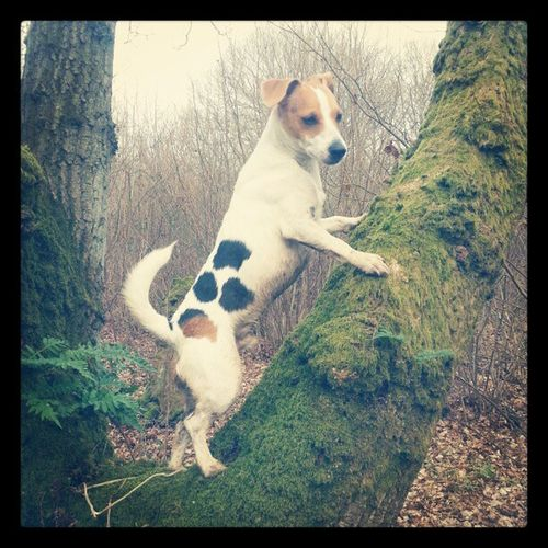 Picoftheday Photooftheday Jackrussellsofinstagram Jackrusselle jrt dogs instadogs instahub instadaily instagood instalove treehunters tree climbing fun confused_dog spots walking woods wild cute