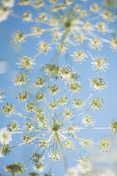 Cow Parsley against a blue sky Hogweed Beauty In Nature Close-up Cow Parsley Day Flower Flower Head Fragility Freshness Growth Nature No People Outdoors Plant Sky