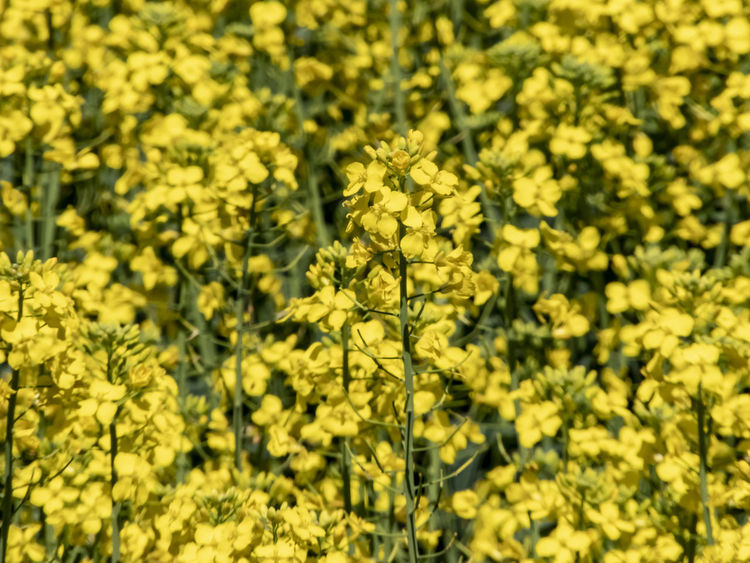 Yellow canola flowers Yellow Plant Beauty In Nature Flower Flowering Plant Growth No People Nature Freshness Vulnerability  Field Land Full Frame Tranquility Close-up Springtime Blossom Flower Head Canola Canola Field Canola Flowers Agriculture Agricultural Field Canola Crops  Crop