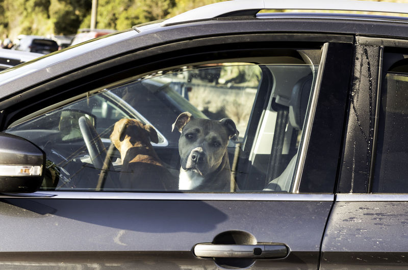 View of dog on car window
