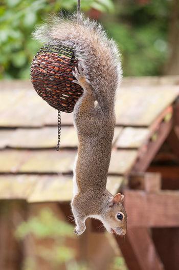 Close-up of squirrel hanging on bird feeder