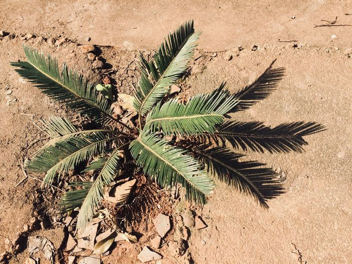 Strong ironwood from the ground Nature Palm Tree Day Outdoors Growth Sand Leaf Plant Beauty In Nature Tree