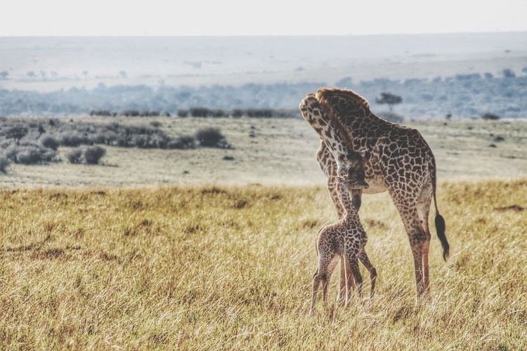 Giraffe And Calf Standing On Grassy Landscape