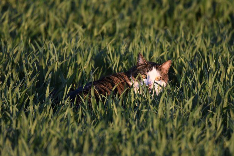 Cat hidden in grass
